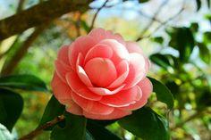 pink smile ....tsubaki