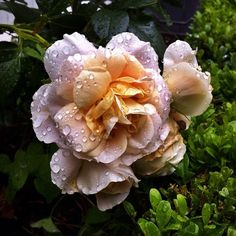 One of my first #rose blossoms of the season