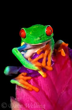 Red-eyed tree frog ~ agalychnis calladryas perches on a bromeliad flower native to south america ~ © Dave Welling