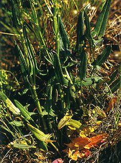 Garden wild plantes sauvages fleurs m dicinales - Cuisine plantes sauvages comestibles ...