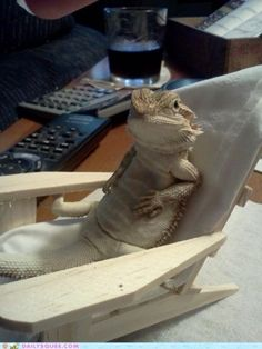 funny bearded dragon pictures | Bearded dragons