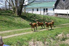 Ridgebacks running with mom and dad