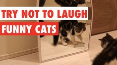 Try Not To Laugh | Funny Cat Video Compilation 2017 - YouTube