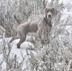 Grey hunt.