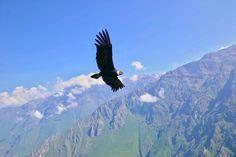 Majestic Condor in the Colca Canyon in Peru 🇵🇪 🦅 Travel Memories, Bald Eagle, Peru, Animals, Instagram, Animales, Animaux, Animal, Animais