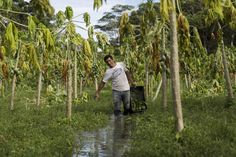 Brazilian farmer Delson Pereira dos Santos walks in his papaya plantation which is inundated with floodwaters from the Solimoes River, in the rural municipality of Manacapuru, Amazonas state May 5, 2015. (Photo by Bruno Kelly/Reuters)