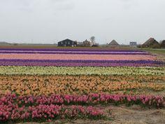 Callantsoog, Noord-Holland, Netherlands. Bollenvelden
