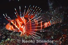 Hawaiian Red Lionfish or Turkeyfish, Pterois sphex