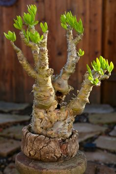 Amazing Unusual Plants To Grow In Your Garden Cacti And Succulents, Planting Succulents, Planting Flowers, Kalanchoe Blossfeldiana, Cactus Plante, Mini Bonsai, Crassula Ovata, Unusual Plants, Cactus Y Suculentas