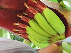 The Dwarf Ducasse banana is now in full swing, and it is delightful to have the flowers at an easily accessible height to inspect at close range.
