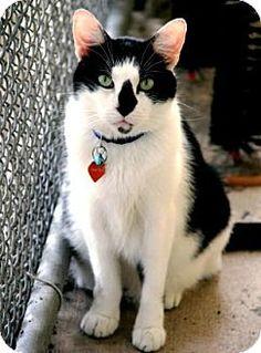 Bradenton, FL - Domestic Shorthair. Meet Pistol Pete, a cat for adoption. http://www.adoptapet.com/pet/16775050-bradenton-florida-cat