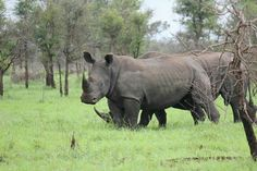 Rhino - Kruger National Park
