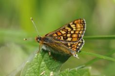 "Marsh Fritillary ""Euphydryas aurinia"""