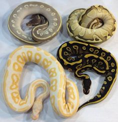 "4 Morphs of Ball Python: ""Purple Passion/Phantom Mojave/Phantom Potion (top left), Lesser or Butter Pastel (top right), Cinnamon or Black Pastel Albino (bottom right) and a Mojave or Mystic (bottom right)"", best guesses by @Katia Grondin"