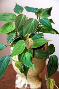 Do you know if you have safe indoor plants? Indoor plants are a great addition t. - Do you know if you have safe indoor plants? Indoor plants are a great addition to the home! Big Leaf Plants, Plants That Repel Bugs, Green Plants, Plant Leaves, Succulents Garden, Planting Flowers, Water Plants Indoor, Porch Plants, Magic Garden