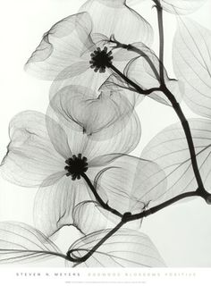 Dogwood Blossoms - Positive