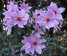 Tree Dahlia - Deep Purple form