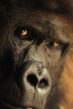 Gorilla, photo by Stanislav Duben.   Mystery