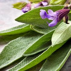 Common sage (Salvia officinalis) is best for cooking. Golden and purple varieties are available, as well as 'Tricolor,' in which leaves are green, cream and a pinky-purple. Sage Benefits, Coconut Benefits, Essential Oils For Colds, Sage Essential Oil, Sage Herb, Medicinal Herbs, Hair Health, Fragrance Oil, Home Remedies