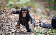 A baby chimpanzee looks a little unsteady on his feet as he takes his first steps away from his mum.  Photographer Konrad Wothe captured the youngster at play in the Mahale Mountains National Park in Tanzania, Africa.