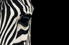 A close Up portrait of a Plain's Zebra (Equus quagga, formerly Equus burchelli), also known as the common zebra or Burchell's zebra. Image taken in the Serengeti National Park in Tanzania. Who says animals have no souls? Zebra Wallpaper, Mac Wallpaper, Wallpaper Backgrounds, African Animals, African Safari, Zebras, Arte Zebra, Beautiful Creatures, Animals Beautiful