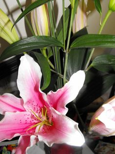 My pink lily