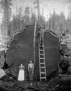 OLD PIX - HUGE REDWOOD TREE - HUGE SAW!