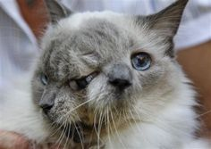 Cat With Two Faces Earns Guinness World Record for Longest Living Janus Cat | Petside