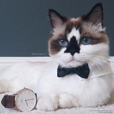 """* * COMMERCIAL CAT: """" Takes a lickin' and keeps on tickin."""" (' Shoulds me start groomin' it nows?')"""