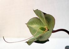 Glockenrebe. Kelchblatt mit Fruchtansatz