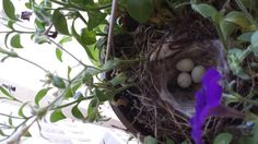 Nests are being made,  Eggs are being laid!  #Boulder  What kind of bird laid these eggs?