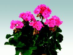 Zonal Geranium Belmonte Hot Pink