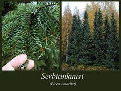 Serbiankuusi - puulajipuisto Garden, Plants, Patio, Garten, Lawn And Garden, Gardens, Plant, Gardening, Outdoor
