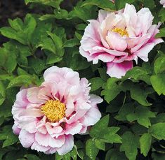 Love tree peony for its big, beautiful blooms? These varieties also have fabulously fragrant flowers!