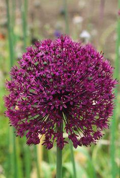 Allium Purple Sensation Fotografia de John Glover, uno de los primeros y de los mas importantes fotografos de jardin del Reino Unido