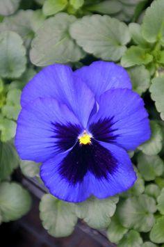 Stiefmütterchen • Viola x wittrockiana • Pflanzen & Blumen • 99Roots.com