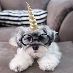 "1,174 Likes, 106 Comments - (wonder)Wally (@wonderwallythedog) on Instagram: ""Seriously human, you think this is funny!?! • • • #unicorn #glasses #schnauzerworld #schnauzer…"""