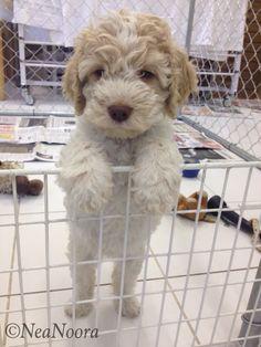 Stella, lagotto puppy