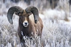Bighorn Ram in Snowy Grass