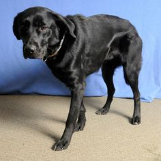 Davey Labrador Retriever • Adult • Male • Large Knox County Animal Shelter Mount Vernon, OH  www.petfinder.com... www.facebook.com/... Animal Shelter, Animal Rescue, Alexandria Louisiana, Animals And Pets, Cute Animals, Knox County, Stop Animal Cruelty, Mount Vernon, Puppy Mills