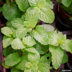 """Download the royalty-free photo """"The close up of fresh spearmint in plant market."""" created by phasuthorn at the lowest price on Fotolia.com. Browse our cheap image bank online to find the perfect stock photo for your marketing projects!"""