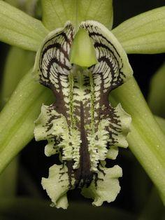 coelogyne Mayeriana2 _from close-up - Orchids