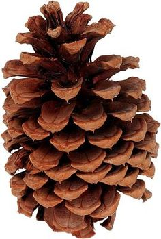How to Clean Pinecones for Holiday Crafts