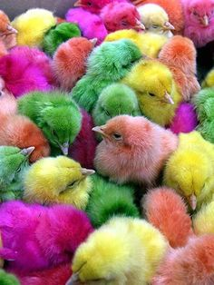 (from I'm guessing a Feed & Seed store:)  So many customers tell us about the dyed baby chicks they remember from when they were young.