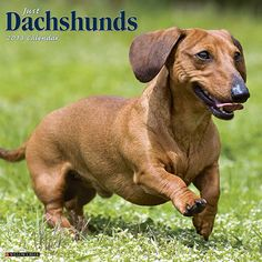 Just Dachshunds Wall Calendar: Dachshunds are affectionate, curious and very, very clever. All of their amusing and admirable traits and characteristic are typified in these twelve vivid, full-color photos!  http://www.calendars.com/Dachshunds/Just-Dachshunds-2013-Wall-Calendar/prod201300006058/?categoryId=cat10026=cat10026