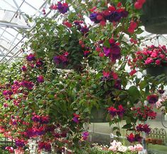 I used to fight with a fuschia every summer.  I couldn't work full time and keep it watered enough...usually.  I really like the way they look, though.