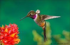 Magenta-throated Woodstar by Juan Bahamon on 500px