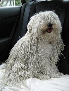 Meu Perrinho / my hungarian dog Puli Dog Breed, Dog Breeds, Mop Dog, Dog Cat, Cute Cats And Dogs, Dogs And Puppies, Doggies, Hungarian Puli, Crazy Dog