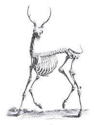 Image result for DONKEY SKELETON ILLUSTRATION