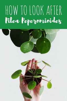The definitive tutorial on how to take care of your Pilea Peperomioides: all the best tips to assure it will grow happy and healthy! Hanging Plants, Indoor Plants, Indoor Garden, Balcony Garden, Money Plant Care, Peperomia Plant, Chinese Money Plant, Foliage Plants, Gardening For Beginners